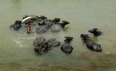 Homem joga água em búfalos para refrescar os animais do calor na cidade de Bhubaneswar, na Índia