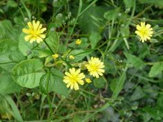 Nipplewort: not just another dandelion | Nature Notes from Dorset