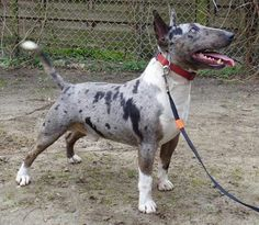 Blue Merle Bully. Now I have seen everything!