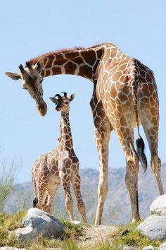 Giraffe Dad Hesabu and Mom Dadisi of the Living Desert in Palm Desert welcomed their third calf on March 10th, 2010