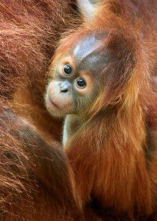 Baby Orangutan, Sumatra, by Rob Kroenert Monkey See Monkey Do, Ape Monkey, Monkey Baby, Cute Baby Animals, Animals And Pets, Funny Animals, Strange Animals, Beautiful Creatures, Animals Beautiful