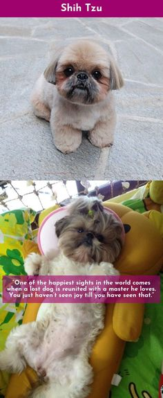 Check out the webpage to read more on Shih Tzu #ShihTzu  Just click on the link for more info