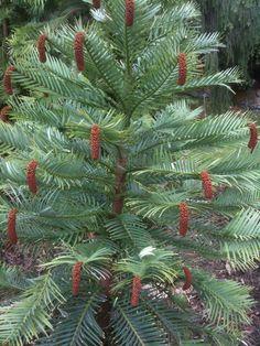 Wollemi Pine Tasmanian Royal Botanical Gardens Hobart October 2013