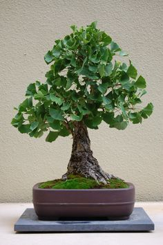 """GINGKO TREE LEAF"""" - The ginkgo is a living fossil, recognisably similar to fossils dating back 270 million years. The overwhelming research results credit Gingko with the proven ability to positively influence certain medical conditions. Bonsai Plants, Bonsai Garden, Bonsai Trees, Jade Bonsai, Cactus Plants, Ginkgo, Pacific Rim, Pacific Northwest, Pot Plante"""
