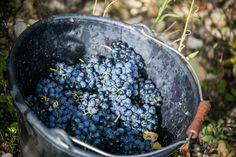 Harvesting our SYRAH on the steep slopes of RASTEAU. NO harvesting machines here! #rasteau #harvest14 #terroir