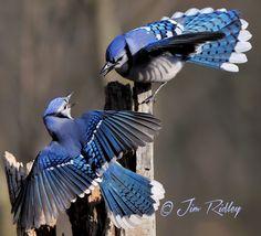Bird Houses And Feeders Backyards Blue Jay 37 Ideas For 2019 Pretty Birds, Love Birds, Beautiful Birds, Small Birds, Colorful Birds, Blue Jay Bird, Backyard Birds, Exotic Birds, Wild Birds
