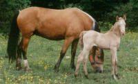 Morgan Colors- Cremello, Perlino and Smoky Cream Morgan Horses