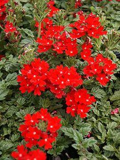 Verbena Peruviana Rock Garden Plants Sun Red Perennials