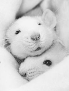 "White Mice - Reminds me of my childhood pet ""Snowball. Hamsters, Rodents, Animals And Pets, Baby Animals, Funny Animals, Cute Animals, Cute Creatures, Beautiful Creatures, Animals Beautiful"