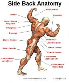 Abdominal Anatomy   sport exercises   Pinterest   Anatomy, Muscles ...