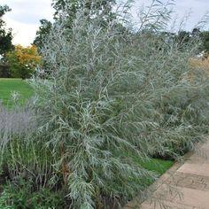 Coyotevide, Salix Exigua, buske med extremt silvriga blad som glittrar i solen, rör sig mjukt i vinden. Full sol, väldränerad jord, även näringssvag sandig jord. Torktålig. Uppbyggnadsbeskärs om trädform önskas. Kan formbeskäras årligen. Unga exemplar relativt snabbväxande. Går även bra att odla och formbeskära i kruka.