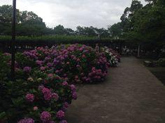 Hortênsias *.* são tão lindas!! Dah vontade de apertar, de comer .. Eh uma das minhas flores preferidas!!