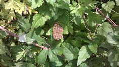 Brown pointed butterfly