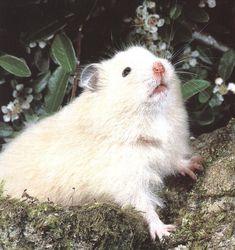 Hamstercitos :3: La Vejez en el Hamster: Tips y Cuidados a Tener en Cuenta