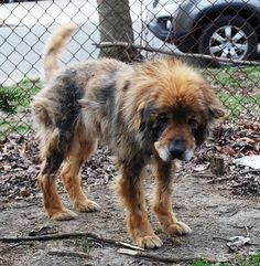 aww, sometimes i pin sad/cute stories like this one. this chow mix is SO cute