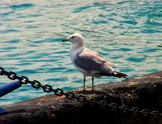 """@chrisflees Seagull On The Chicago Seawall by Chris Flees """"An image of a seagull (Larus delawarensis) sitting on the seawall in Chicago. The technical name for this gull is Ring-billed gull. The are found in many parts of the US but this one happened to be in Chicago, this specific bird is a gull living on or around the great lakes more specifically Lake Michigan. They seem rather fearless especially in large groups. """""""