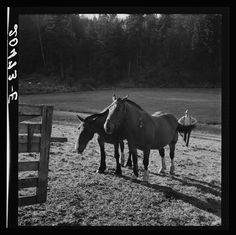 Western Washington, Lewis County, near Centralia. Farmer brings his team up from the pasture. Has own small cut-over farm in Shoestring Valley for twenty years Photographer Dorothea Lange August 1939 Dorothea Lange Photography, Hard Working Man, Western Washington, Pretty Pictures, Homestead, Farmer, The Twenties, Westerns, Old Things