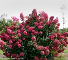 Fire Light Panicle Hydrangea  Proven Winners  Live Plant