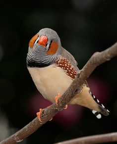 Zebra Finch@Paradisio I used to have zebra finches. They are so cute (and noisy)!