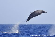 Sowerby beaked whale... I want to fly away! by quarrresma / João Quaresma, via Flickr