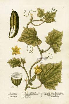 Antique  herb Prints   Elizabeth Blackwell Curious Herbal Prints 1757