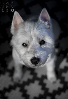 #westie # dog #photo Lumo <3