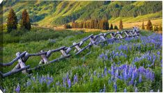 Lupines And Split Rail Fence In Meadow, Colorado, USA by Danita Delimont