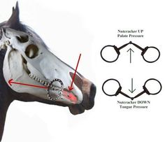 nutcracker effect of single joint snaffle