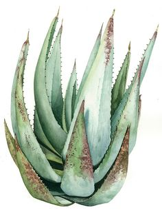 Marly Beyer | Aloe aloe dorotheae