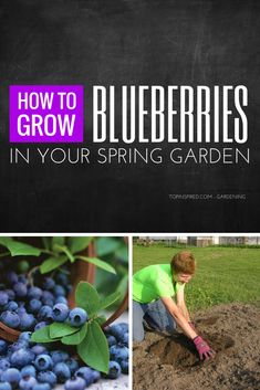 Blueberries are nutritious and healthy fruits. When we have to buy them in stores they can be quite pricey. Luckily they are one of the easiest berries to grow. #Blueberries