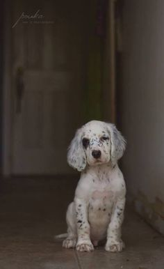 NEED an English setter pup! Animals And Pets, Baby Animals, Cute Animals, Cocker Spaniel, Beautiful Dogs, Animals Beautiful, Cute Puppies, Dogs And Puppies, Pet Dogs