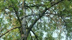4lk: Orava ja liito-orava Liito-orava suosii vanhoja haapoja. Kuva: Risto Salovaara/Yle Beautiful, Plants, Photography, Houston, Amanda, Gardens, Pray, Photograph, Fotografie