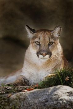 Mountain Lion by Brian Cross**