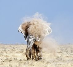 Huge elephant 4m tall and weighing more than four 4 tons. It took ten minutes to get this shot of the animal filling his trunk with the dust of the Kalahari desert before spraying his forehead, By Brian Lam