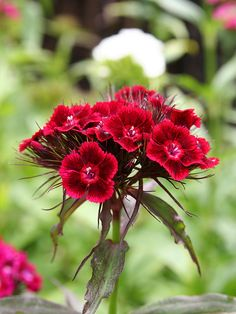 Dianthus barbatus 1 by ~benoldfield on deviantART