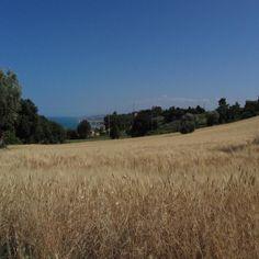 Campo di grano a Sirolo, Italy
