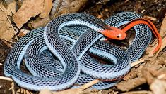 Blue coral snake - Snakes, Indonesia