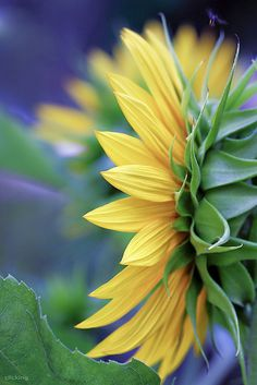 Yellow petals - [ EXPLORED ] by -clicking- on Flickr.