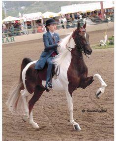 Saddlebred horses are the best ! Dressage Horses, Thoroughbred Horse, Appaloosa Horses, Breyer Horses, Horse Barns, Horse Stalls, American Saddlebred, Most Beautiful Horses, Horse Pictures