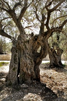 The Sisters Olive Trees of Noah, 6000 years old. The oldest living olive trees on earth.