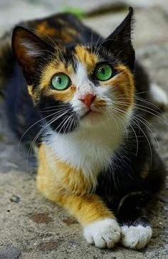 Calico cat cute cats and kittens Cute Cats And Kittens, Cool Cats, Kittens Cutest, Ragdoll Kittens, Funny Kittens, White Kittens, Black Cats, Siamese Cats, Kitty Cats