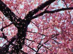 Gaze HD Sakura » AppCrawlr's Feature Analysis » for ipad