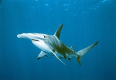 Sharks Virgin Birth: In 2001 a Hammerhead shark was born at the Henry Doorly Zoo in Nebraska with three potential mothers in the same tank. Researchers were forced to conclude that the pup had no father, making this he first documented case of asexual reproduction of a shark. (see blog #2)