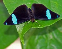 Northern Olivewing   Nessaea      aglaura              © James Laurie
