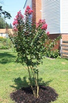 42 Best Crepe Myrtle Landscaping Images Crepe Myrtle