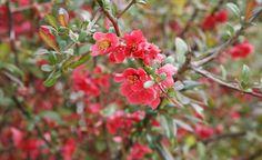 Niedrige Zierquitten-Sorten (Chaenomeles) lassen sich gut in Staudenbeete integrieren und eröffnen schon im März den Blütenreigen