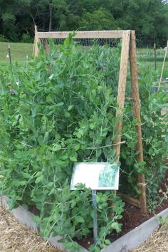 Chicken Wire A-Frame Trellis-good for peas, shorter bean vines. Easy storage over the winter with hinges on the top.