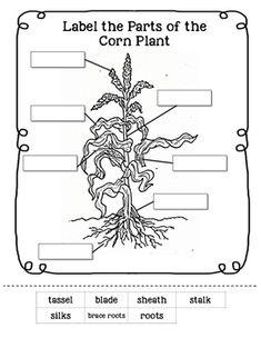 Parts of a Corn Ear Worksheet FREEBIE! Visit www