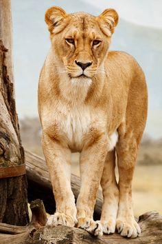 Afrika, Afrikanische, Tier, Groß, Fleischfresser, Katze