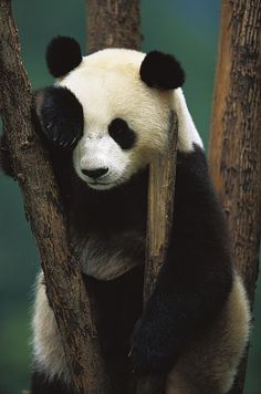 panda's life: eat bamboo, sleep, and look cute! Niedlicher Panda, Panda Bebe, Cute Panda, Red Panda, Panda China, Beautiful Creatures, Animals Beautiful, Photo Panda, Panda Mignon